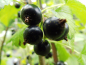 "Mobile Preview: Ribes nigrum ""Lissil"" - Schwarze Johannisbeere"