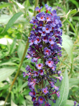 "Buddleja davidii ""Black Knight"" - Schmetterlingsflieder"
