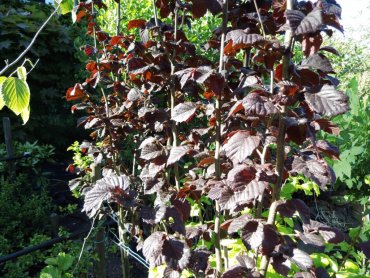 "Corylus avellana ""Anny`s Compact Red"" - Gemeine Haselnuß"