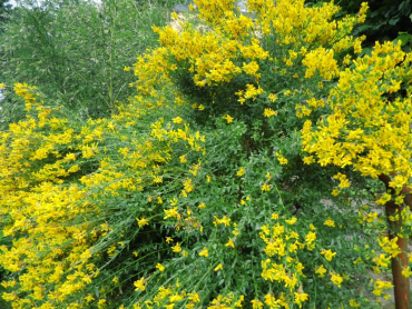 "Genista tinctoria ""Royal Gold"" - Färberginster"