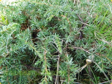 "Juniperus communis ""Green Carpet"" - Teppichwacholder"