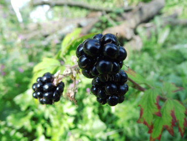 "Rubus fruticosus ""Thornless Evergreen"" - Stachellose Brombeere"
