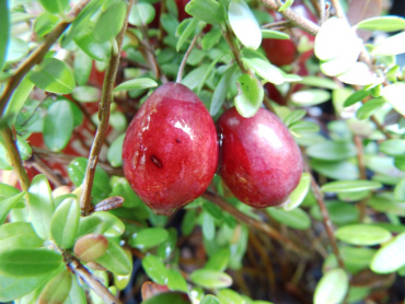 "Vaccinium macrocarpon ""Red Star"" - Cranberry"