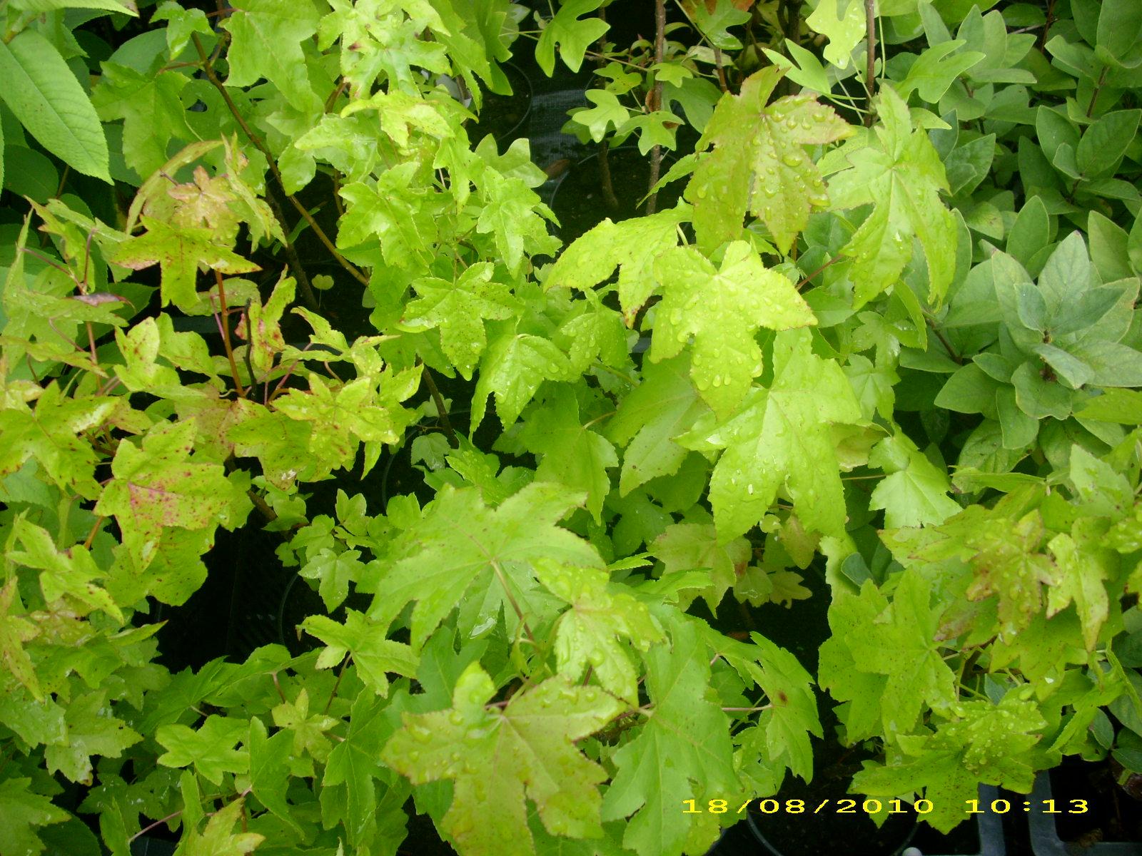 wildobstschnecke liquidambar styraciflua amerikanischer amberbaum. Black Bedroom Furniture Sets. Home Design Ideas
