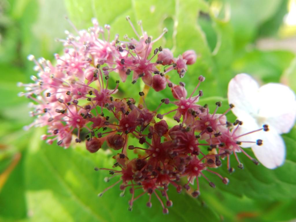 Lieblings Wildobstschnecke - Hydrangea serrata Oamacha / Japanische Tee @PN_86