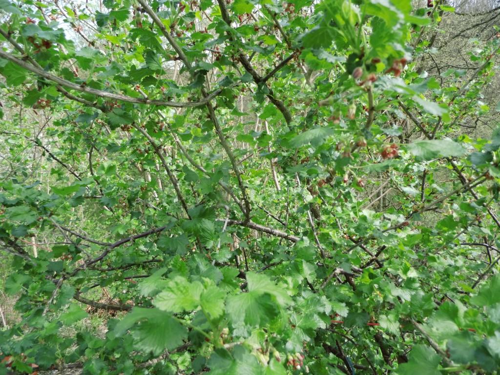 Beliebt Bevorzugt Wildobstschnecke - Ribes nidigrolaria Josta / Jostabeere #QU_29