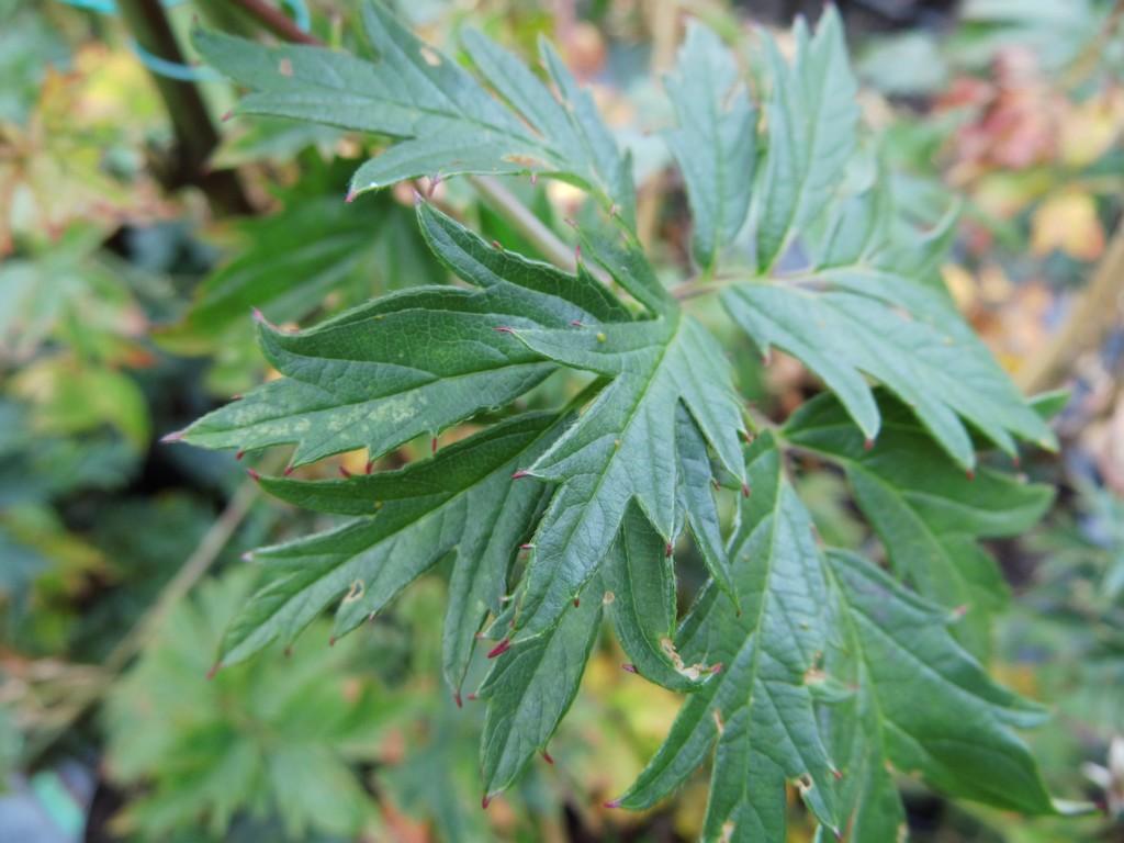 Wildobstschnecke rubus fruticosus thornless evergreen for Evergreen pflanzen