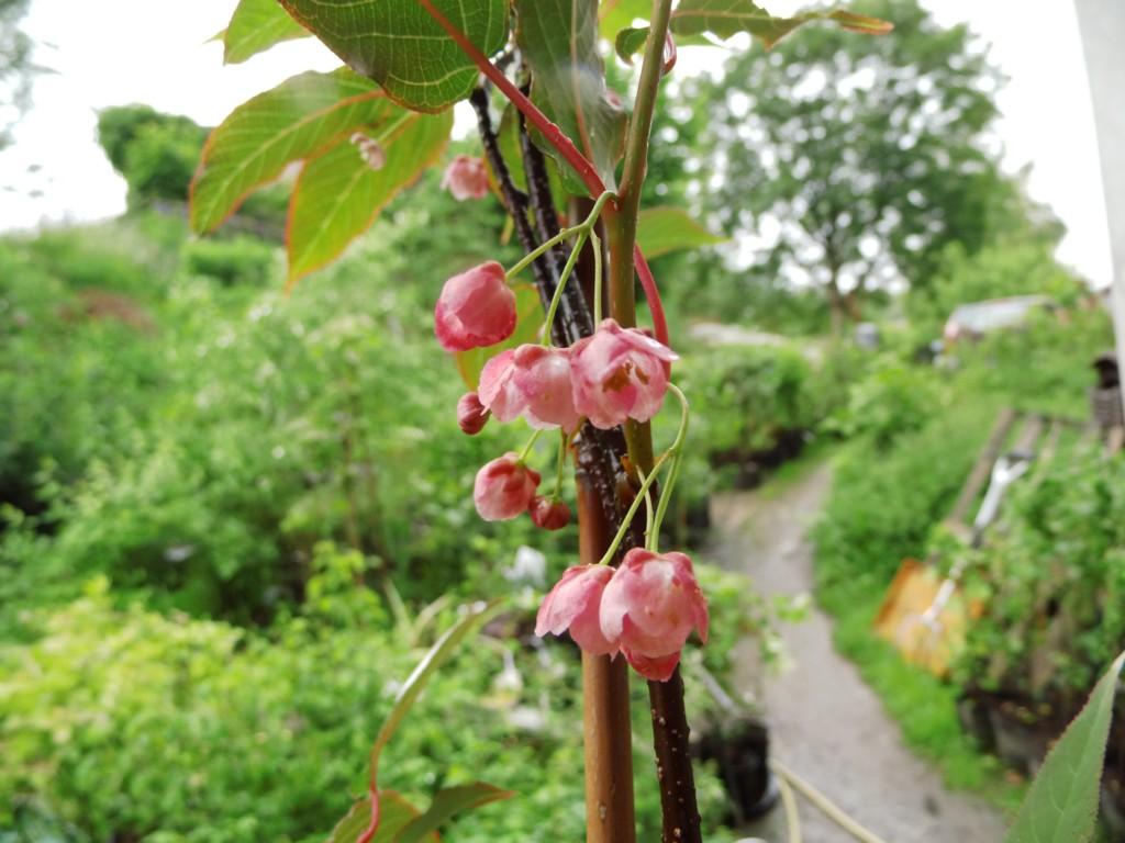 une plante Martin 25 janvier trouvée par Martine et Ajonc Actinidia_pilosula-bluete1