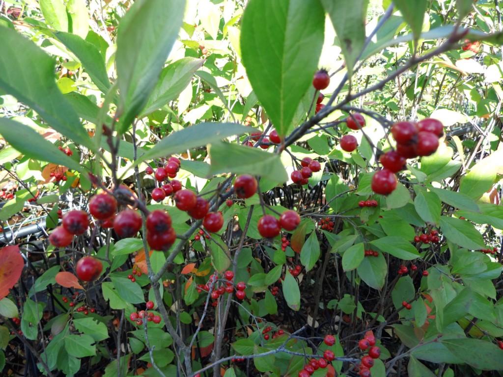 wildobstschnecke aronia arbutifolia rote apfelbeere. Black Bedroom Furniture Sets. Home Design Ideas