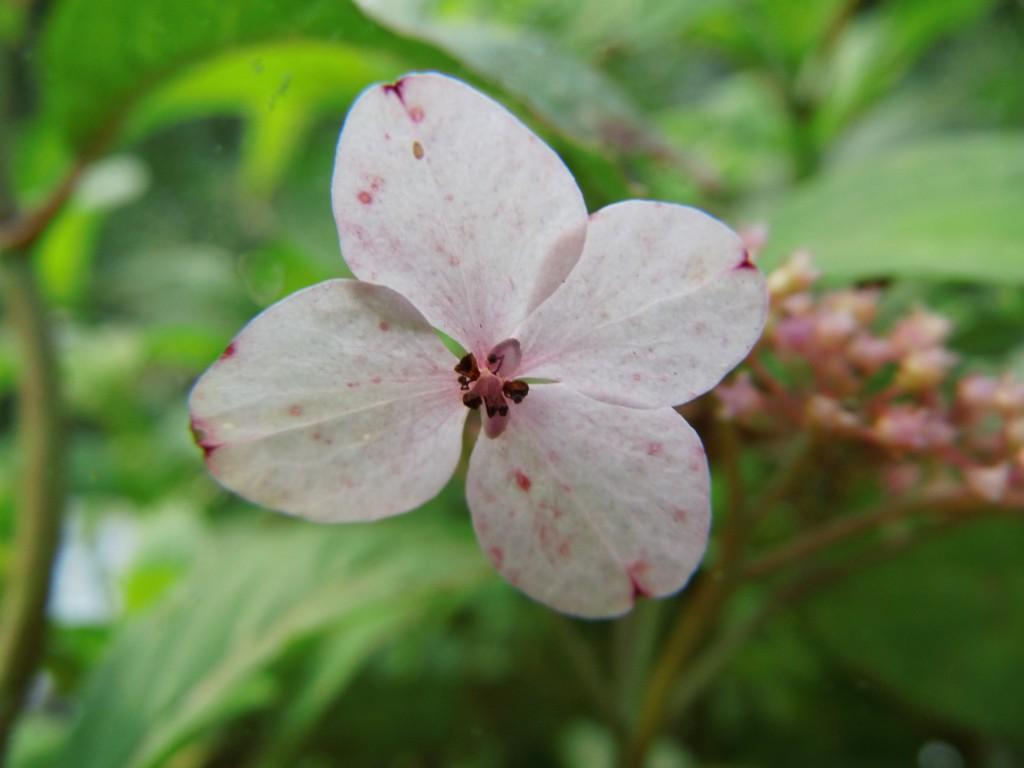 Etwas Neues genug Wildobstschnecke - Hydrangea serrata Oamacha / Japanische Tee @BW_58