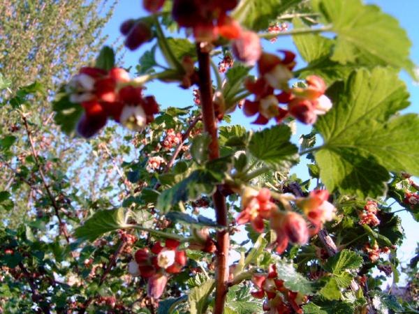 Jostabeere 60-80cm Ribes nidigrolaria