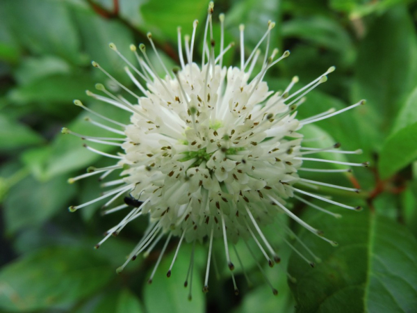 Cephalanthus occidentalis - Knopfbusch