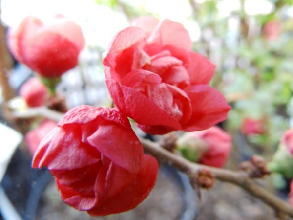 "Chaenomeles x superba ""Red Joy"" - Scheinquitte"
