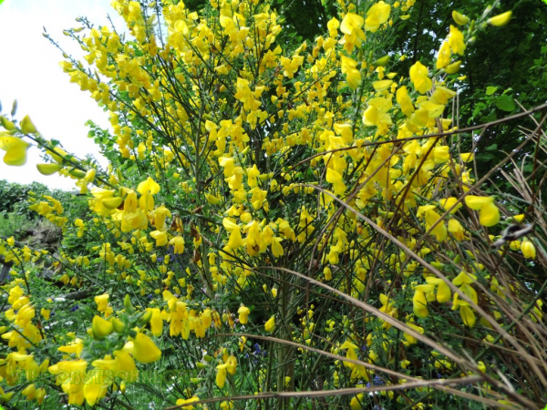 Cytisus scoparius - Besenginster