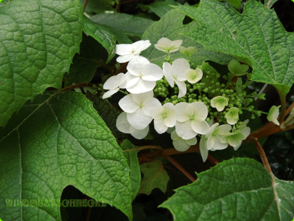 wildobstschnecke hydrangea quercifolia eichenbl ttrige hortensie. Black Bedroom Furniture Sets. Home Design Ideas